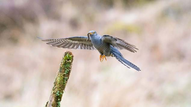 Cuckoo flying with caught caterpillar