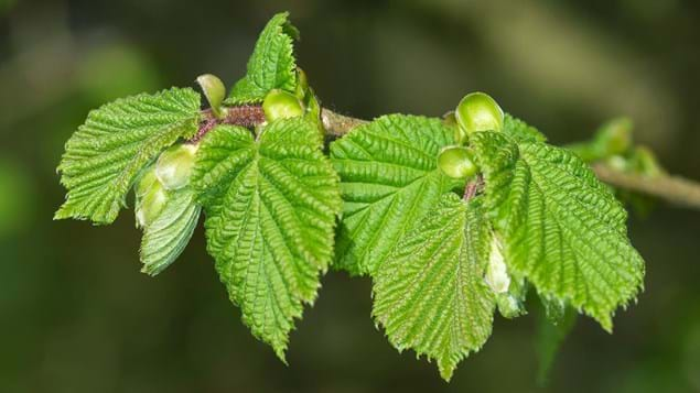 Hazel leaves on branch