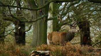 A red deer stag in autumn woodland at Richmond Park