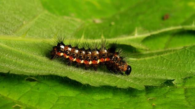 comma caterpillar on leaf