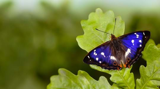 Purple emperor butterfly male on English oak leaf