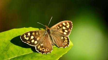Speckled wood butterfly resting on leaf