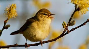 Willow warbler on branch singing