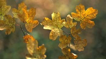 Field maple leaves in autumn
