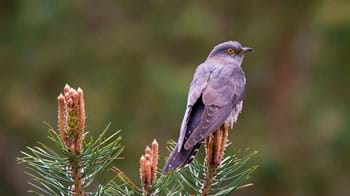 Female cuckoo perched on conifer