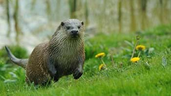 Otter in meadow,  Coed Nant Gwernol and Coed Hendrewallog