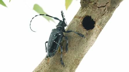 Citrus longhorn beetle on a branch next to bored hole.