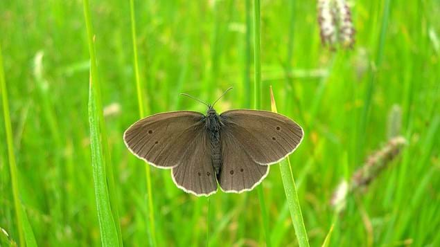 Ringlet Butterfly On Timothy Grass