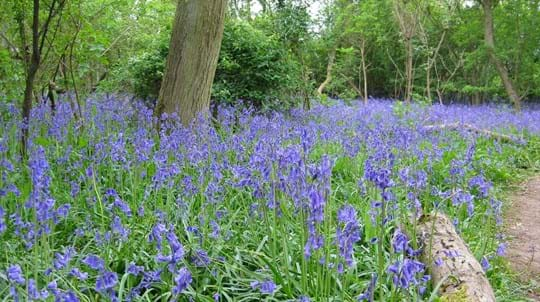 Bluebells blooming alongside a woodland footpath