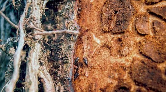 Great spruce bark beetle damaging Sitka spruce