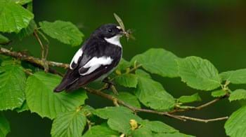 Male pied flycatcher on hazel branch with prey in beak