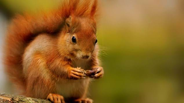 Red squirrel nibbling pine cone