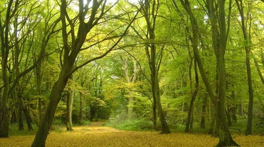 Bright green woods with open ground covered in yellow fallen leaves