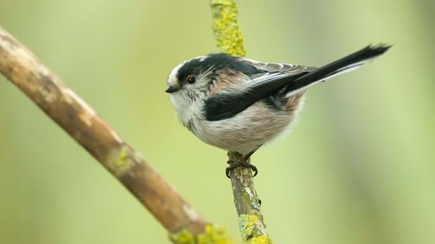 Long-tailed tit perched on branch