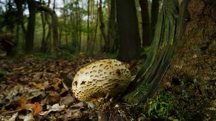 Common earthball in dark autumn woodland