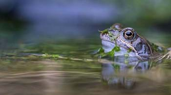 Common frog head emerging from pond