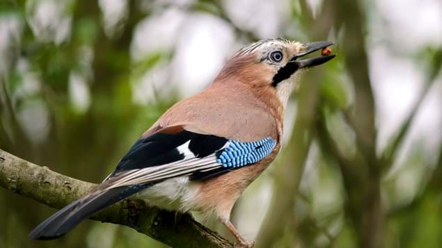 jay with a nut in its beak