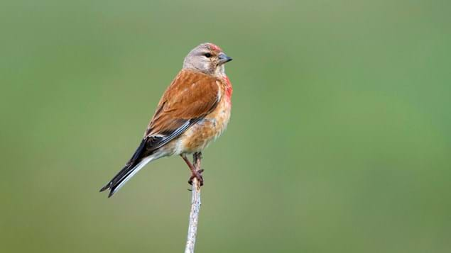 Male linnet perched on a branch