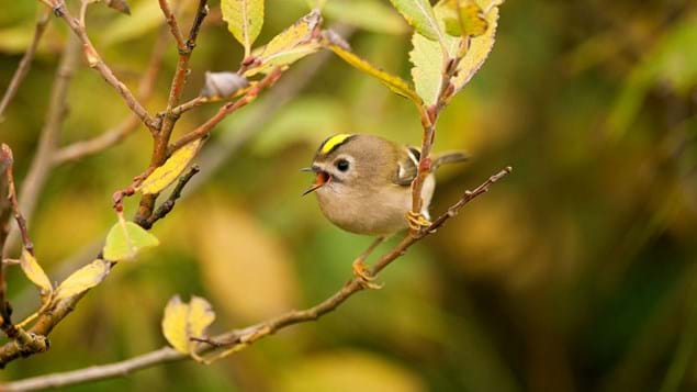 goldcrest on branch
