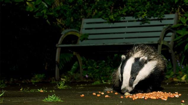Badger in park feeding on peanuts