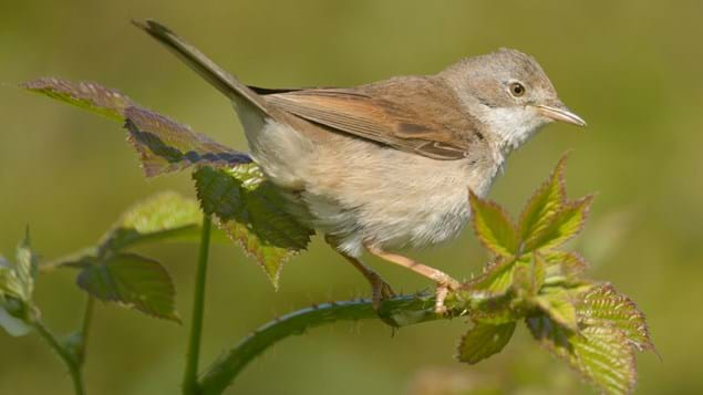 Whitethroat side profile.