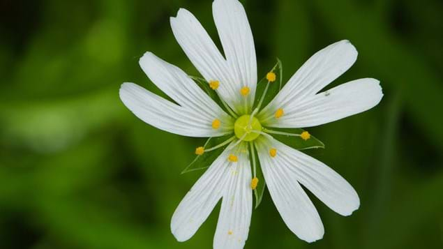 Greater stitchwort flower