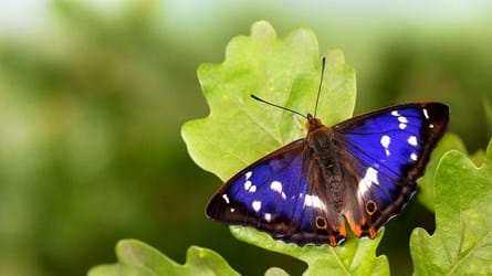 Male purple emperor butterfly on English oak leaf
