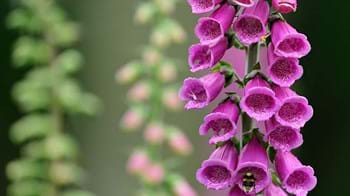 Foxglove flowers close-up