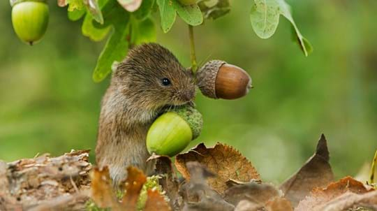 Field vole holding on to acorns attached to an oak tree