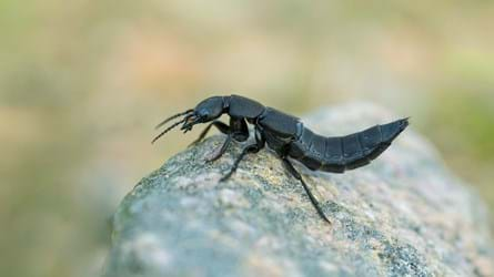 devil's coach horse beetle on rock