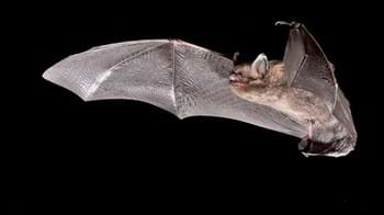 Brandt's bat in flight
