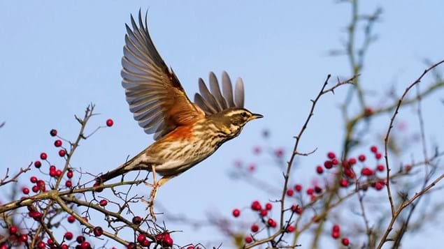 Redwing taking off