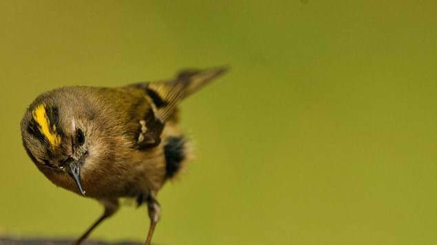 goldcrest close up