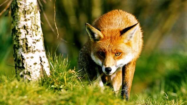 Image result for stalking fox