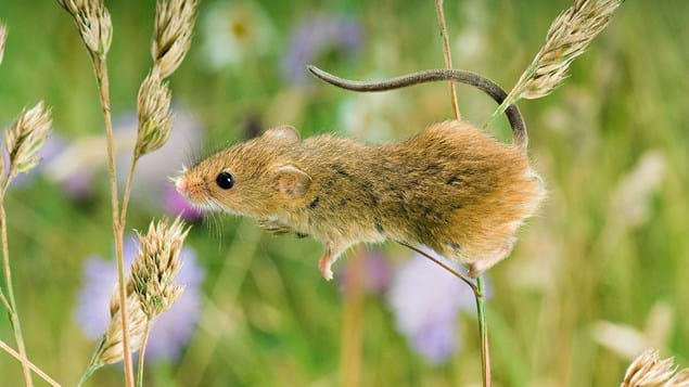 A harvest mouse climbing on cocksfoot grass