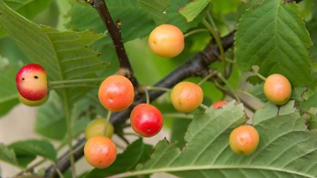 Wild cherry fruit on tree
