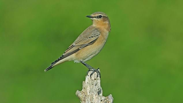 Wheatear close-up