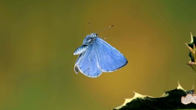 Holly blue butterfly in flight