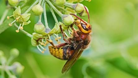 Hornet feeding on bright green ivy blossom