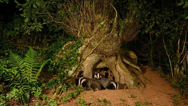 Badger mother and cubs emerging from their sett