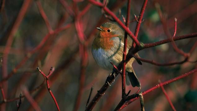 Robin perched in dogwood tree