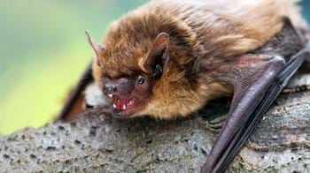 Serotine bat showing teeth on a branch