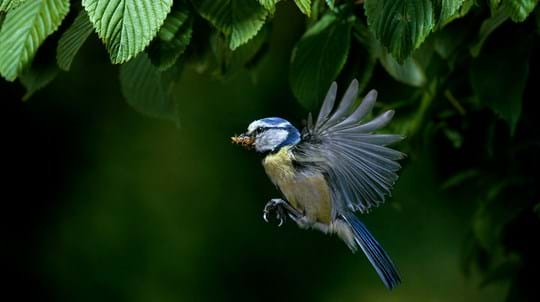 Blue tit in flight carrying insect