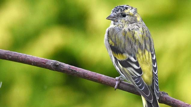 Siskin female on branch