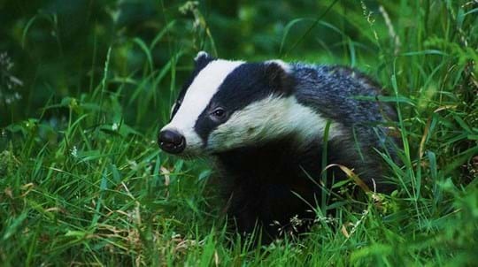 Badger in grass meadow, Credenhill Park Wood