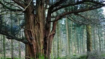 Ancient yew tree in Great Knott Wood
