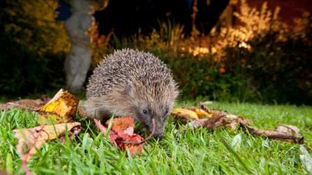 European Hedgehog Adult Feeding On A Garden Lawn At Night