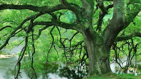 Sessile oak by Pressmennan Wood
