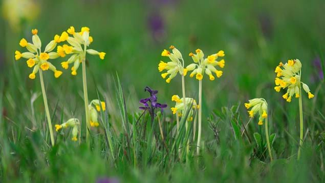 Cowslips and green-winged orchids