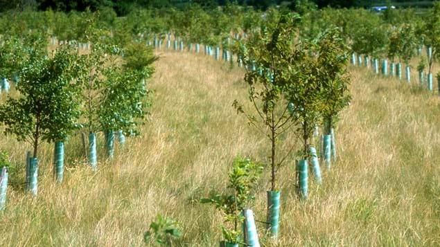 Rows of saplings in a field